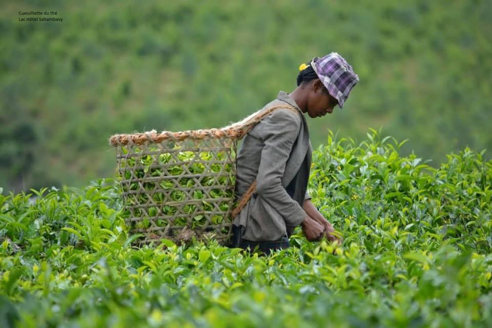Madagascar - visite plantation de thé